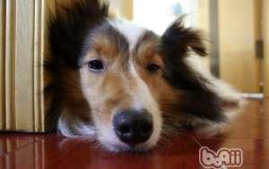 给狗狗清洁耳朵的方法-狗狗常见病